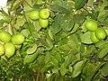 Lemon Tree in my Home - panoramio.jpg