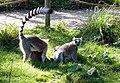Lemur - panoramio.jpg