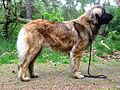 Leonberger-Moyra-of-Usquebaugh.jpg