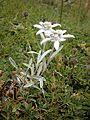 Leontopodium alpinum RHu 02.JPG