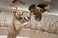 Leptailurus serval IMG 1128.jpg