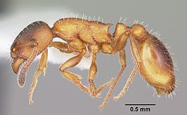 Leptothorax acervorum
