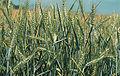 Les Plantes Cultivades. Cereals. Imatge 1817.jpg