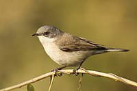 Lesser white throat by David Raju (cropped).jpg