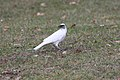 Leucistic American Crow (Corvus brachyrhynchos) (4154683172).jpg