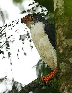 Leucopternis - Image: Leucopternis semiplumbeus Costa Rica 8