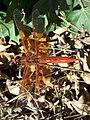 Libellula saturata-Male-1.jpg