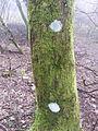 Lichene e muschio su tronco.jpg