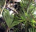 Licuala spinosa 17zz.jpg