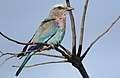 Lilac-breasted Roller, Coracias caudatus, at Elephant Sands Lodge, Botswana (32098650272).jpg