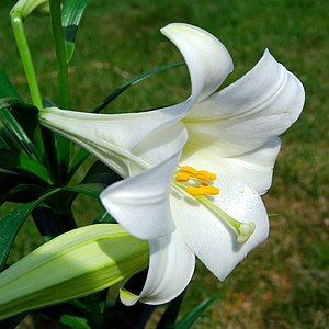 A lilium longiflorum, commonly known as an Eas...