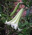 Lilium puerense.jpg