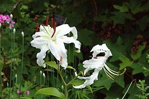 Lilium speciosum - A white cultivar