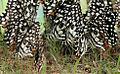 Lime Butterfly (Papilio demoleus) mud-puddling W3 IMG 0253.jpg
