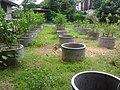 Lime garden in Nong khai, Thailand - panoramio.jpg