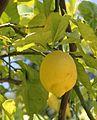 Limon - Lemon - 01.jpg