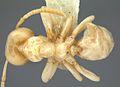 Linepithema flavescens casent0106977 dorsal 1.jpg