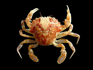 <i>Liocarcinus marmoreus</i> species of crustacean