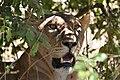 Lion, Ruaha National Park (4) (28410387893).jpg