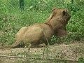 Lion from Bannerghatta National Park 8479.JPG