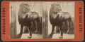 Lion in Central Park, from Robert N. Dennis collection of stereoscopic views 2.png