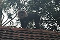 Lion tailed macaque Macaca silenus on the roof in Valparai IMG 4670.JPG