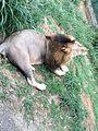 Lion yawning.jpg
