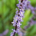Liriope muscari - Fleurs-2.jpg