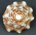 Lithopoma tectum (West Indian star snail) (San Salvador Island, Bahamas) 3 (16165458706).jpg
