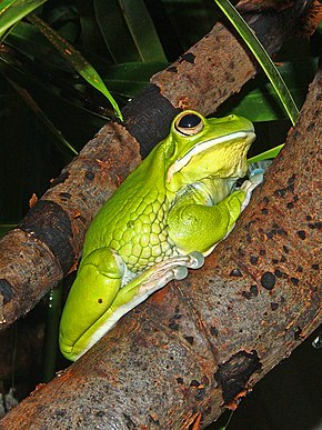Description de l'image Litoria infrafrenata 01.JPG.