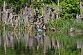 Little Blue Herons (33938805450).jpg