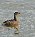 Little Grebe (12137681014).jpg