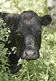 Livestock114 (38874842031).jpg