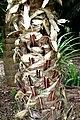 Livistona australis in Auckland Botanic Gardens 02.jpg