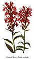 Lobelia cardinalis-4, by Mary Vaux Walcott.jpg