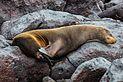 Lobo marino (Zalophus californianus wollebaeki), isla Lobos, islas Galápagos, Ecuador, 2015-07-25, DD 49.JPG