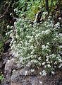 Lobularia canariensis kz1.JPG