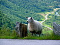 Local Resident - Stryn (1544373036).jpg