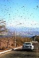 Locust - Flickr - (nivs).jpg