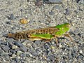Locusta migratoria on the ground.jpg