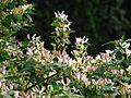 Lonicera sp. blooming 05.JPG