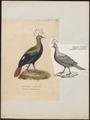 Lophophorus impeyanus - 1844-1846 - Print - Iconographia Zoologica - Special Collections University of Amsterdam - UBA01 IZ16900229.tif