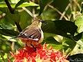 Loten's Sunbird Female (Cinnyris lotenius) (18070052171).jpg