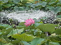 Lotusblume Sydney Botanic Gardens.JPG