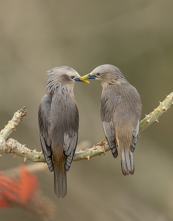 Love making of Chestnut-tailed Starling.jpg