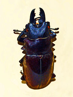<i>Odontolabis dalmani</i> Species of beetle