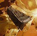 Lunar Underwing. Omphaloscelis lunosa - Flickr - gailhampshire (3).jpg
