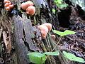 Lycogala epidendrum (2005 07 10).jpg