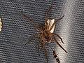 Lycosidae sp. (31266444508).jpg