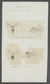 Lynceus roseus - - Print - Iconographia Zoologica - Special Collections University of Amsterdam - UBAINV0274 099 06 0021.tif